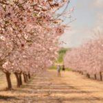 עץ השקד – הפריחות היפות ביותר ברחבי הארץ