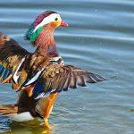 טיול למצפור ויקר בעקבות ברווז מנדרין סיני