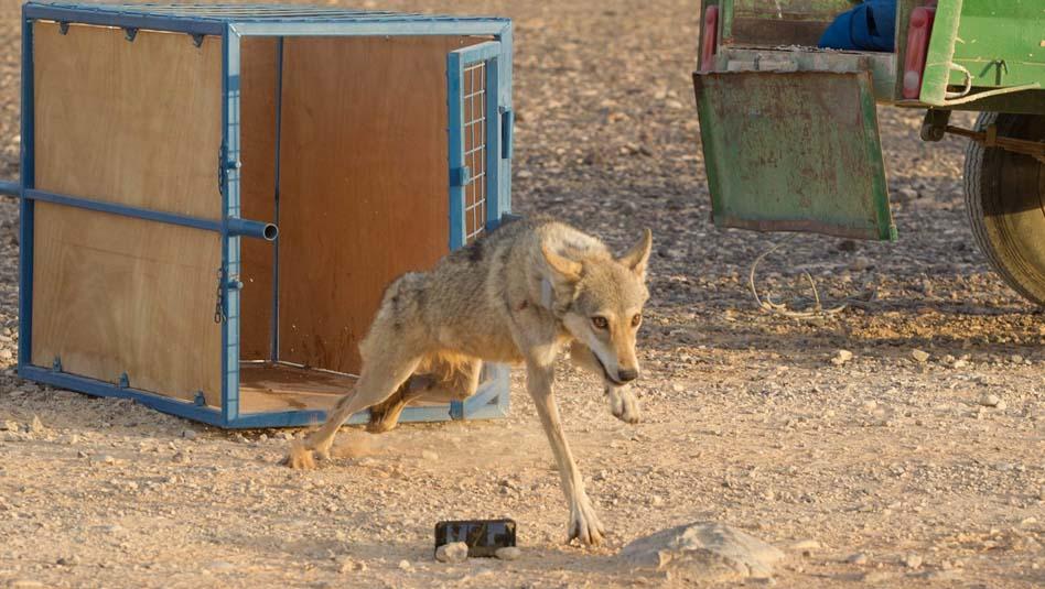 """הזאב הפצוע שטופל ע""""י פקחי רט""""ג, שוחרר לטבע. צילום אורן פריטל, רט""""ג"""