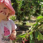"""עין זיוון: סופ""""ש אחרון לקטיף דובדבנים והתחלת קטיף פירות יער"""