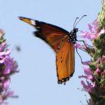 פסטיבל הפרפרים: חשבתם שרק ציפורים נודדות? גם פרפרים נודדים!