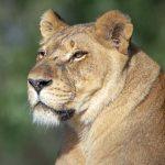 """יום האריה הבינלאומי נחגג ב- 10 באוגוסט, וגם בספארי בר""""ג ציינו אותו"""