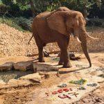 יוסי, הפיל הראשון שנולד בספארי והגדול בעולם, חוגג יום הולדת