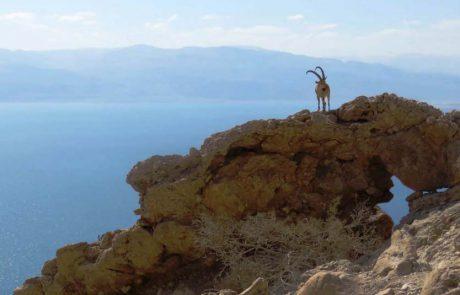 תיעוד מרגש: יעלים שבים חזרה לטבע לאחר שנפגעו