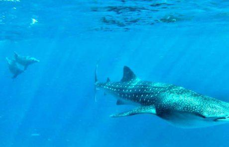 מבלים מתחת למים: כריש לוויתן ודולפינים משתובבים יחדיו