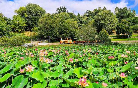 הלוטוס הקדוש שוב פורח בגן הבוטני הירושלמי