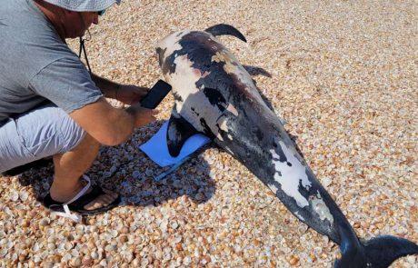 דולפינן מצוי נמצא הבוקר מת דרומית לצוק יבנה ים מחוץ לשטח המוכרז