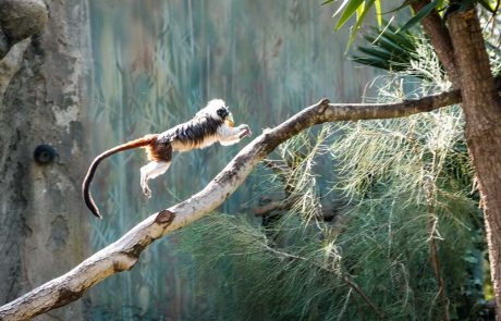נול, קופת המקוק השחור, נפגעה, נותחה ומתאוששת. לשאר הקופים שלום