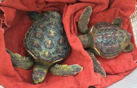 המרכז להצלת צבי ים של רשות הטבע והגנים, מחולל ניסים בבעלי חיים