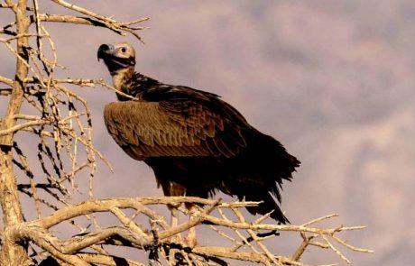 עזניית נגב נצפתה אחרי שנים, בשמורת טבע חי בר יוטבתה