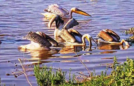 ארוחת בוקר לשקנאים: תקופת הנדידה של הציפורים והעופות בשיאה