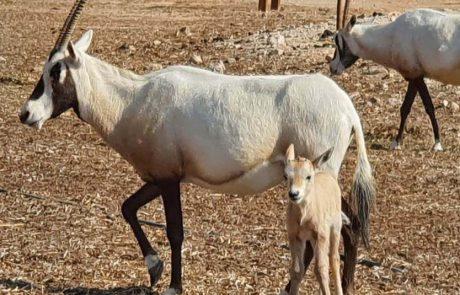הראם הלבן: בעל חי מרהיב, שנעלם מישראל בסוף המאה ה-19 והוחזר