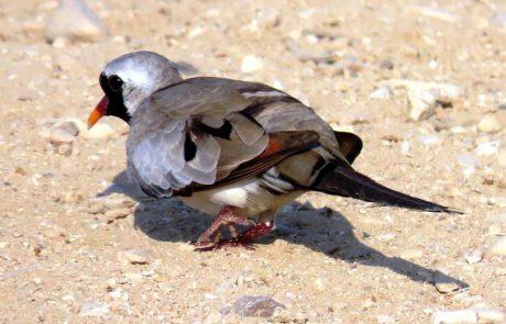 התורית הזנבנית: אחת הציפורים היפות והמיוחדות בישראל
